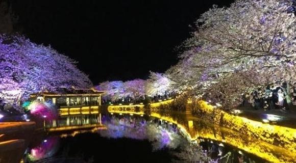 无锡太湖鼋头渚夜樱美如画
