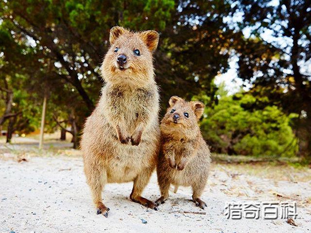 【转载】世界上最开心动物短尾矮袋鼠,它连睡觉都在笑