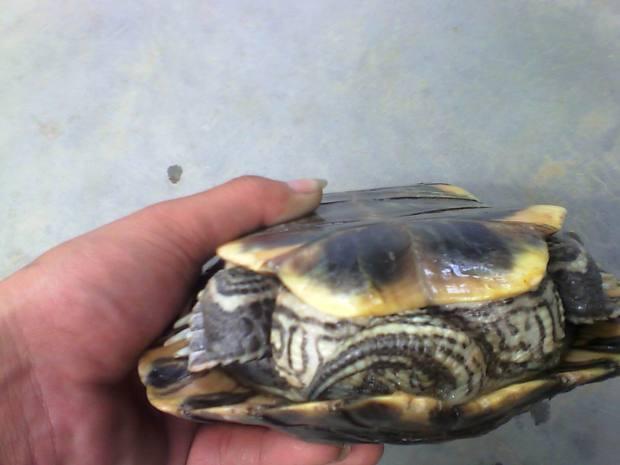 乌龟怎么分公母 帮我看看这3个乌龟是公还是母图片