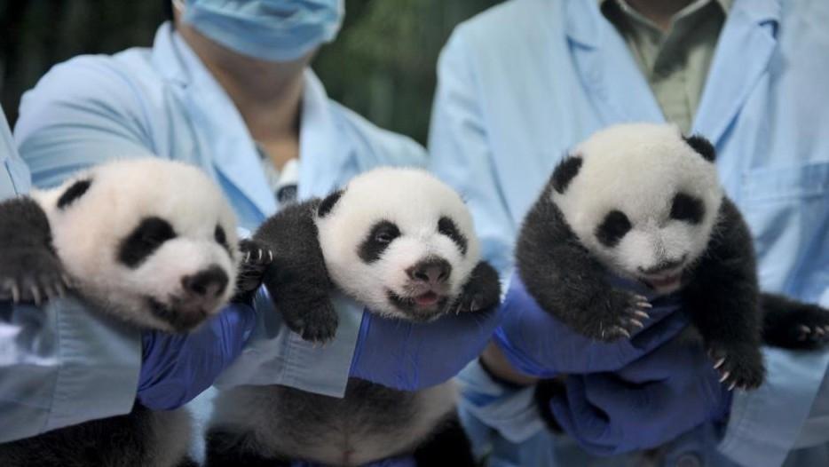 广州长隆野生动物世界成功繁育的大熊猫三胞胎全部