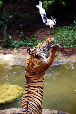 老虎和兔子pk,你见过吗