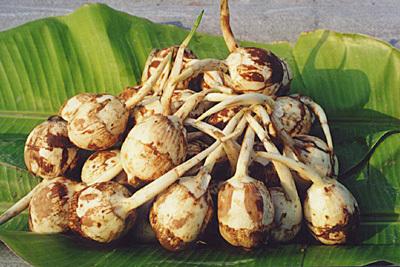 丹灶慈菇 ——佛山南海土产特产