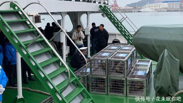 大连百头斑海豹被盗续:首批24头幸存幼崽被放生@