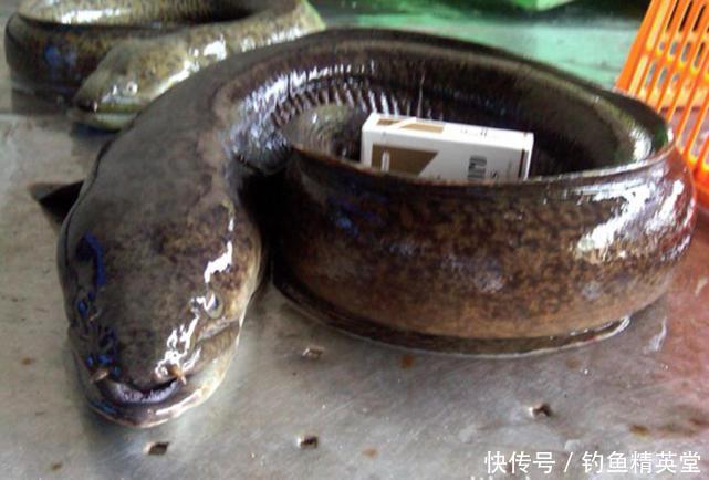 难得一见的溪鳗,只在水质好的沿海地区才有