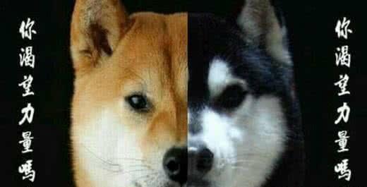 柴犬难为情表情我回去了动画表情图片