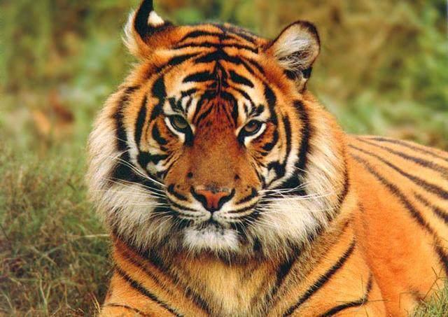 你是不是虎_王者风范不是虎,请问十二生肖中是什么动物