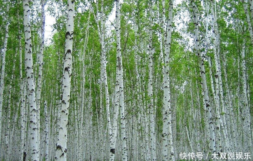 """桦树身上的""""肿瘤"""",靠吸取树浆为生,出口日本千元一斤成高端货"""