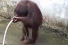 聪明猩猩用水管洗澡