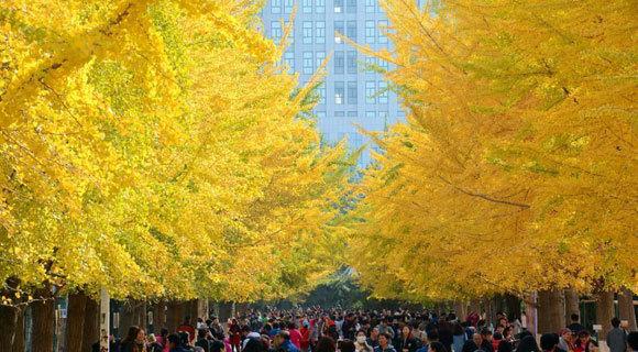 沈阳高校银杏树绽放满眼金黄 引来万人观赏