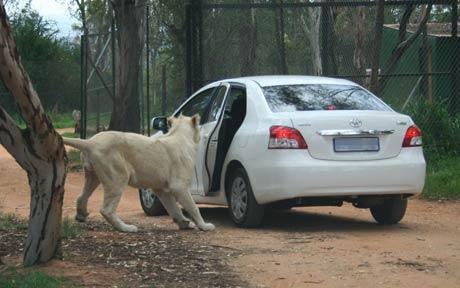 福家导航南非野生动物园狮子扒开车门