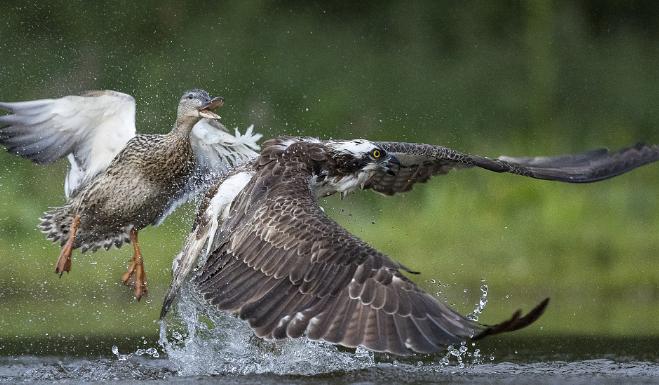 鱼鹰遭野鸭猛烈进攻 放弃猎物狼狈而逃