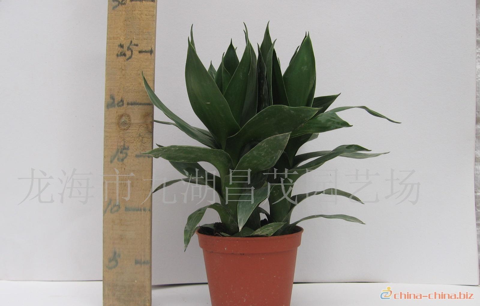 【品种】:有毛凤尾竹,小叶凤尾竹
