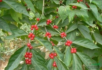 这个结小红果的植物名字
