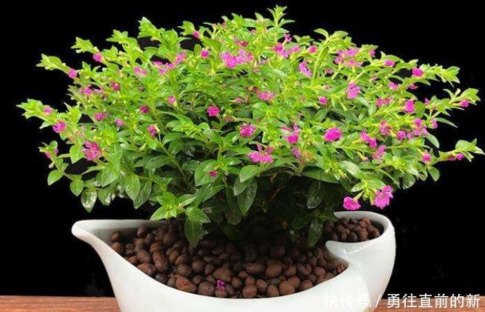 满天星花期特别长,炎热的夏季一定不要播种,但可以养干花哦