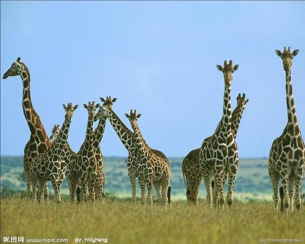 二年级作文长颈鹿它长什么样子?喜欢吃什么呢?