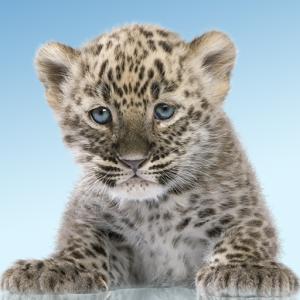如何设置豹,可爱的野生猫科动物的动态壁纸你的手机屏幕上:首页 - &