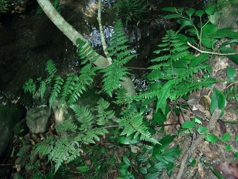 壁纸 植物 蕨类 480_360
