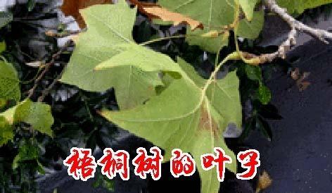 梧桐树叶子是什么型壮的