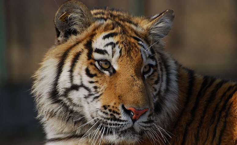 老虎可以活多久