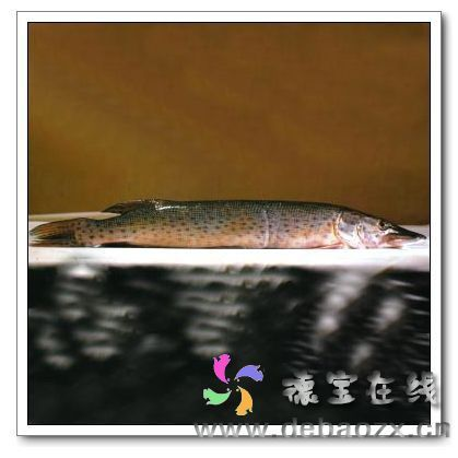 野生黑斑狗鱼的价格_即黑斑狗鱼俗称狗鱼