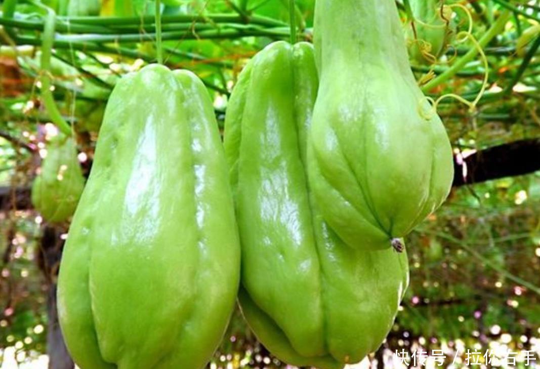 村民种植一种蔬菜,市场上很引人注意,长得很奇特