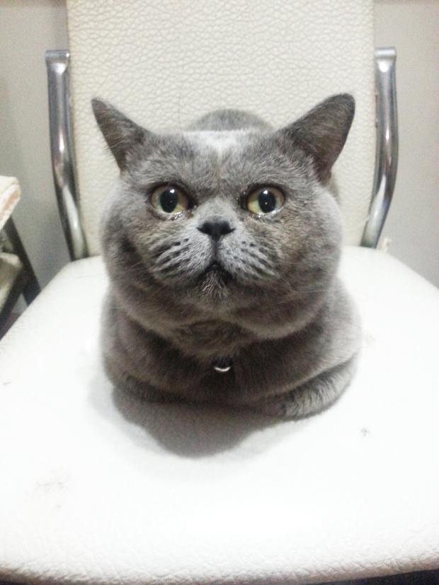 灰蓝色 ,和什么猫配种比较好