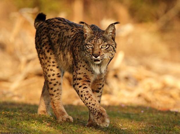 属于猫科动物,体形似猫而远大于猫