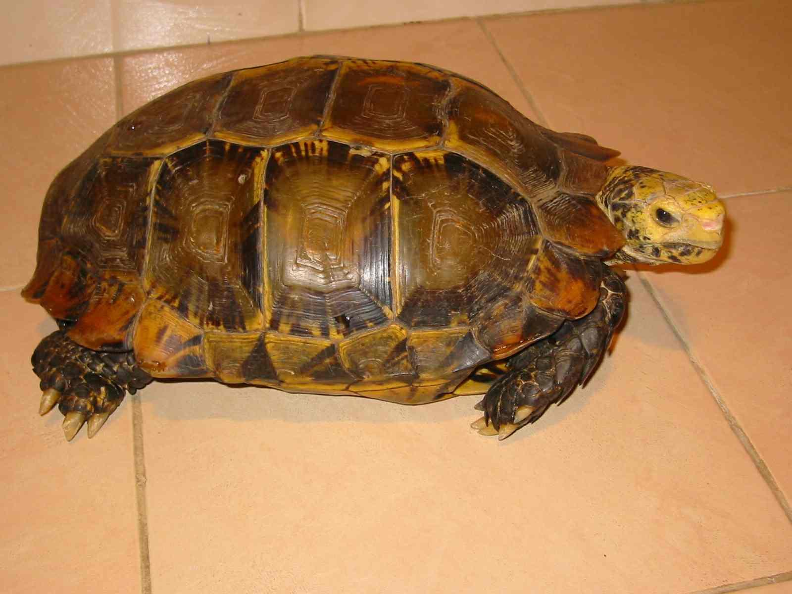 凹甲陆龟的外形特征|-波奇网百科大全