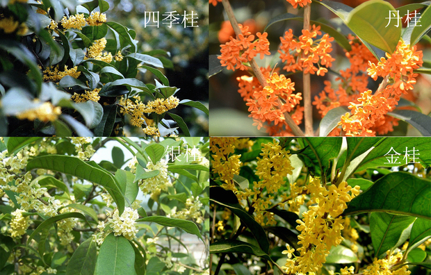 以花色而言,有金桂,银桂,丹桂之分;以叶型而言,有柳叶桂,金扇桂,滴水