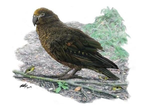 <b>腿骨化石证实属于1900万年前巨型鹦鹉,1米高会食同类</b>
