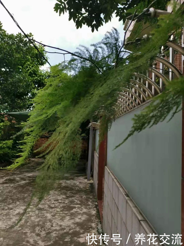 邻居家的文竹爬到我家里,还不断开花结果,要不要将它剪掉呢