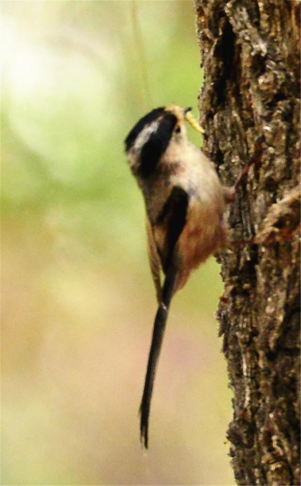 吃害虫的鸟有哪些-有哪些鸟可以吃害虫