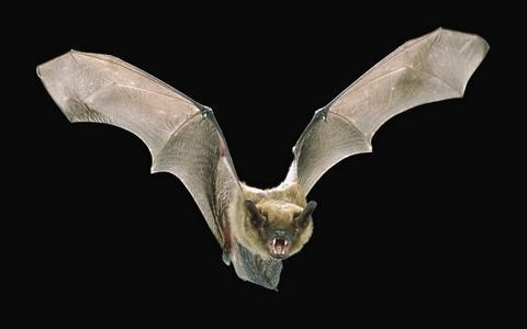 蝙蝠是老鼠变的吗?图片