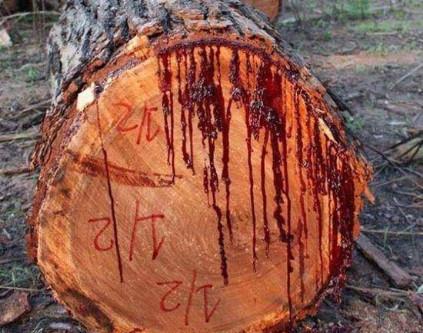 千年古树竟流出鲜红色血液,背后流传着一段神奇的传说! -  - 真光 的博客