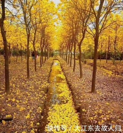 黄花风铃木原产于墨西哥,1997年中国才从南美巴拉圭引进到国内栽种