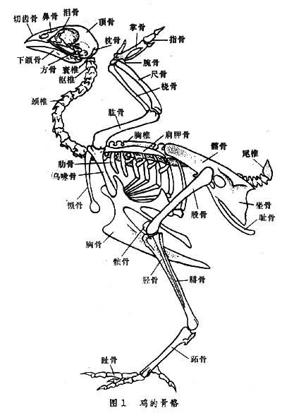鸡的骨架结构图