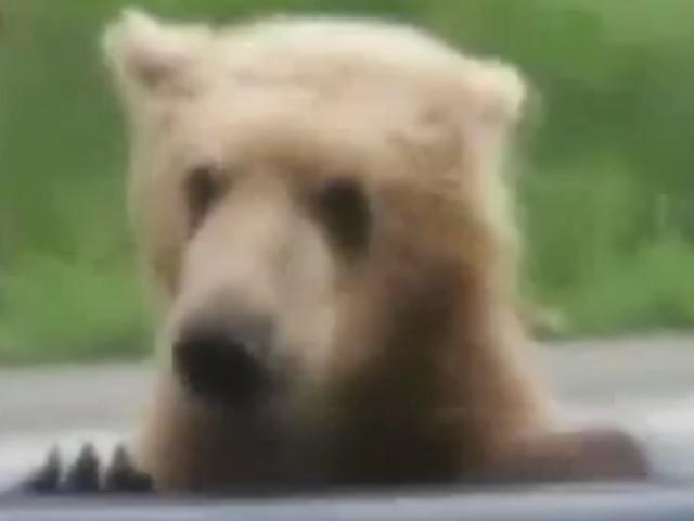 萌哭了!大熊扒在车窗上向车主讨食物