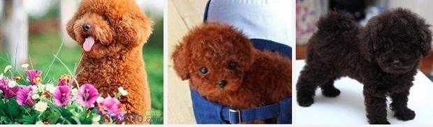 泰迪小狗的图片