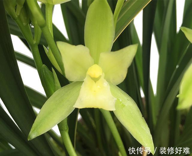最适合新手养的兰花,花色如雪,香味浓醇,叶片有金边,物美价廉