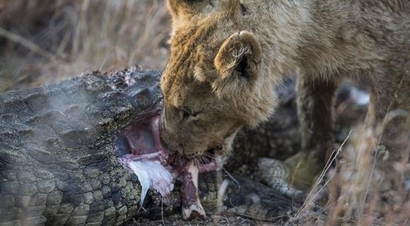 南非母狮捕食鳄鱼 一口咬断猎物喉咙凶残至极