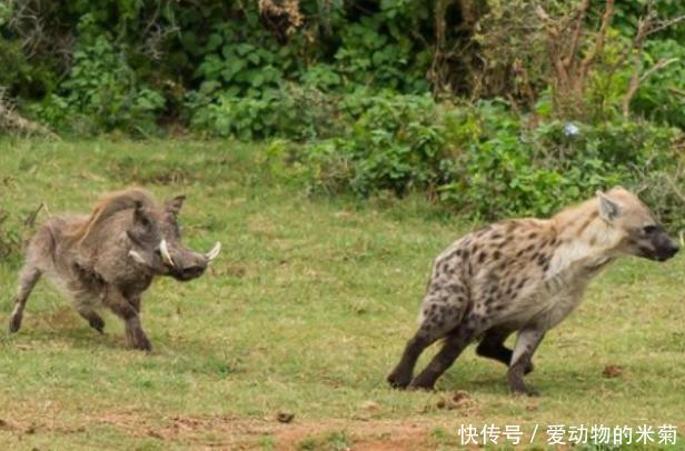 鬣狗真是猥琐到极致,为躲避疣猪的獠牙,竟连凌波微步都使出来了