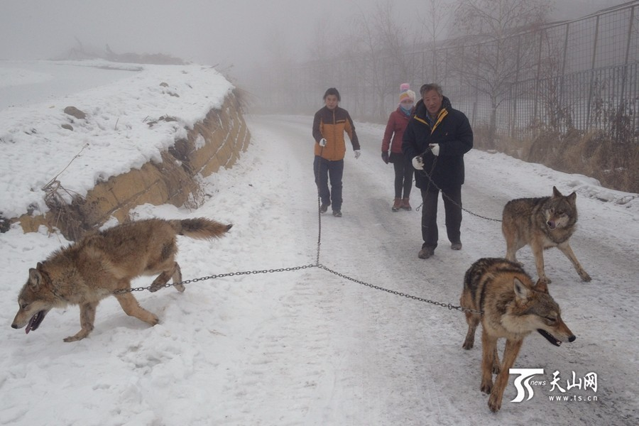7旬老人野狼谷养150匹野狼:年伙食费近百万 - 一统江山 - 一统江山的博客