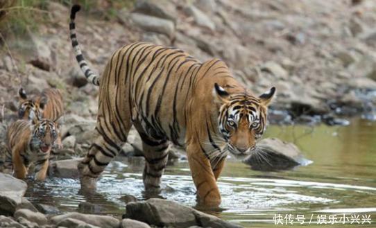 小老虎下水玩耍,在水中不肯上岸,虎妈妈只能这样做