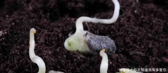 棉花种子发芽需要具备的条件